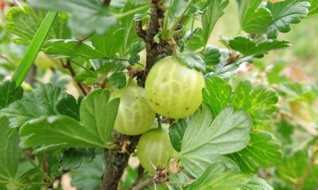 SADIKE KOSMULJA (zelen plod)