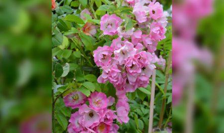 Vrtnica Apple Blossom (Vzpenjavka)