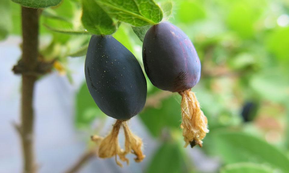 Haskap jagoda sorta Nimfa C2 (triletna sadika)