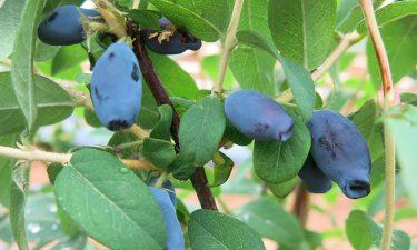 haskap jagoda sibirska borovnica amphora