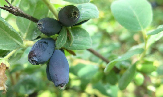 sibirska borovnica haskap jagoda jolanta