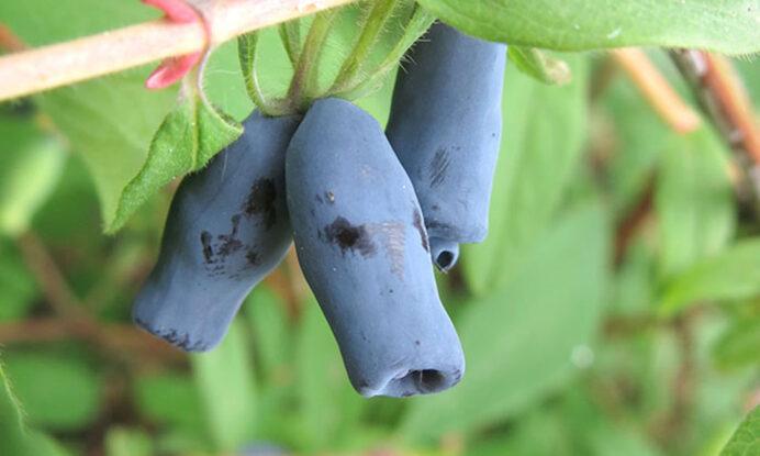 haskap jagoda