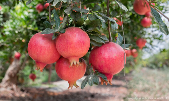 granatno jabolko sadika