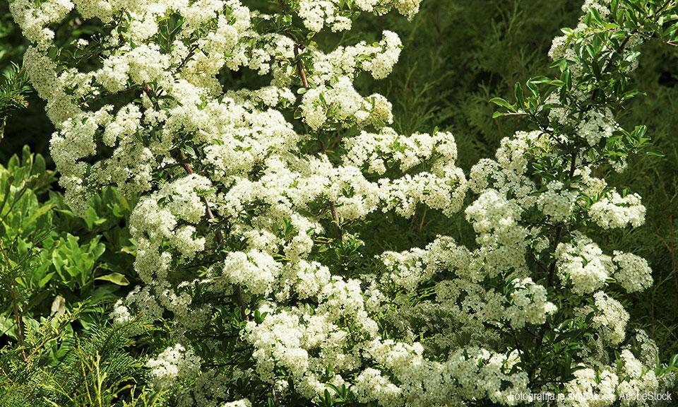 Rakitovec sorta Polimix (moška rastlina)