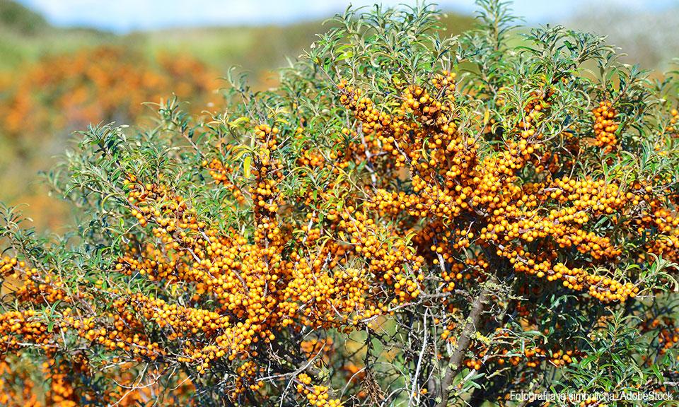 Rakitovec sorta Hergo (ženska rastlina)