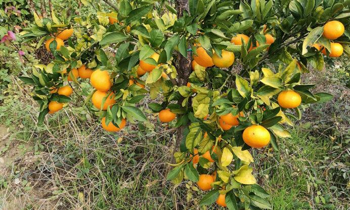sadika mandarina chahara