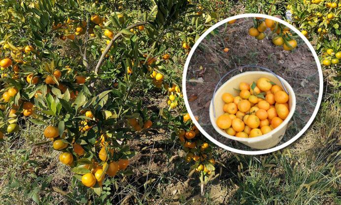 mandarina sadika