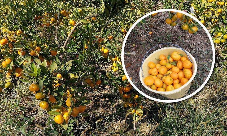 Sadika mandarinovca, sorta Zorica Rana (zgodnja sorta)
