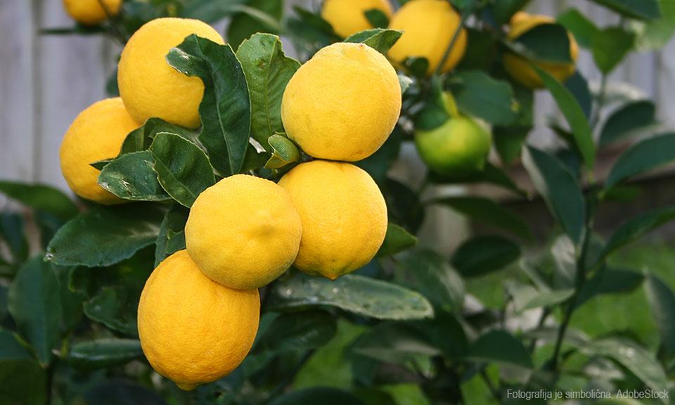 Sadika limonovca, sorta Meyer