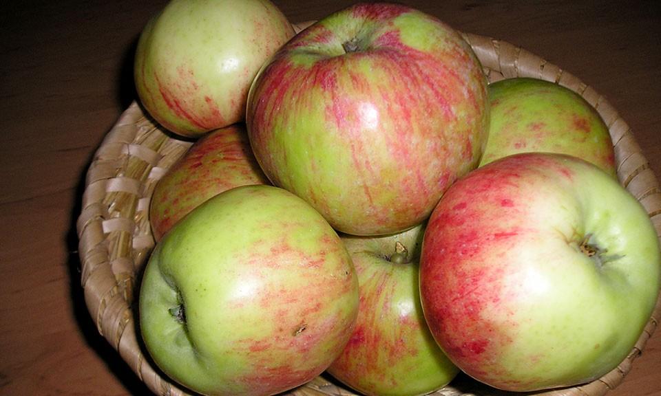 EKO SADIKE Jablana sorta Šentjakobca cepljena na sejanec jablane