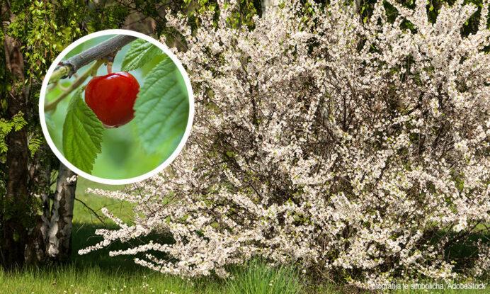 korejska češnja sadika