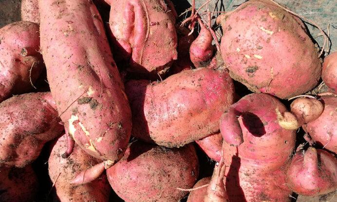 krompir batata