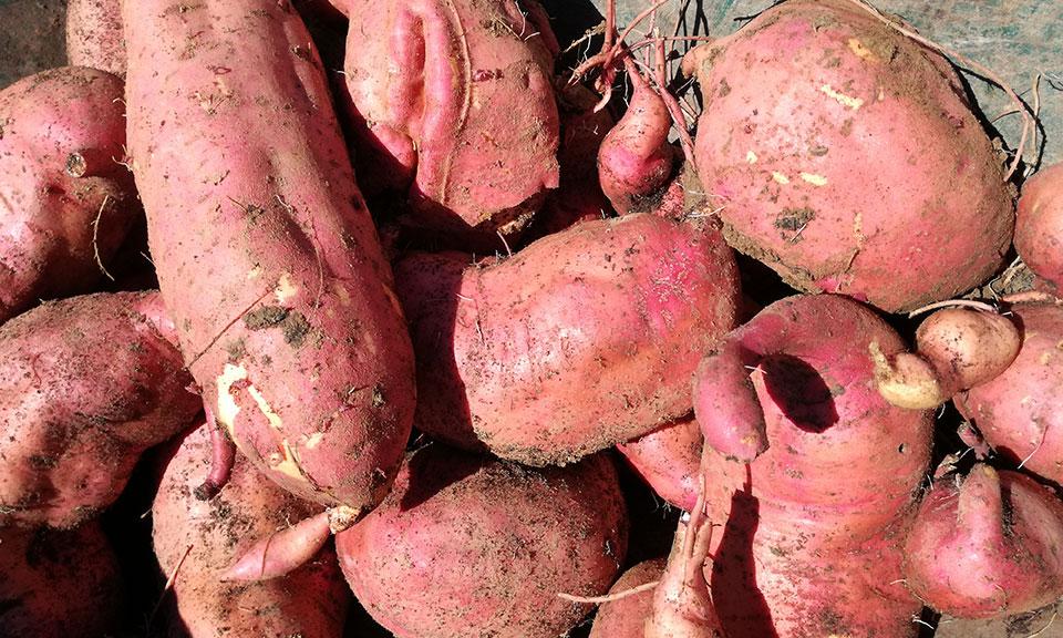 Sladki krompir, Ipomea Batata vijoličen (1 sadika)