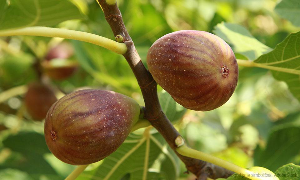 Figa Ficus Car. 'Brown Turkey' (dvakrat rodna)