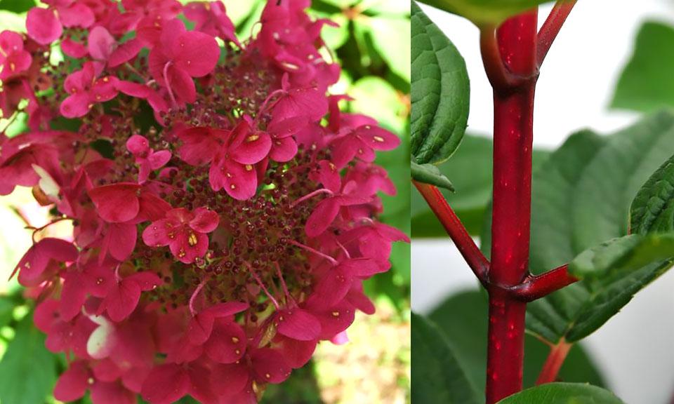Mavrična hortenzija (posebnost in novost)