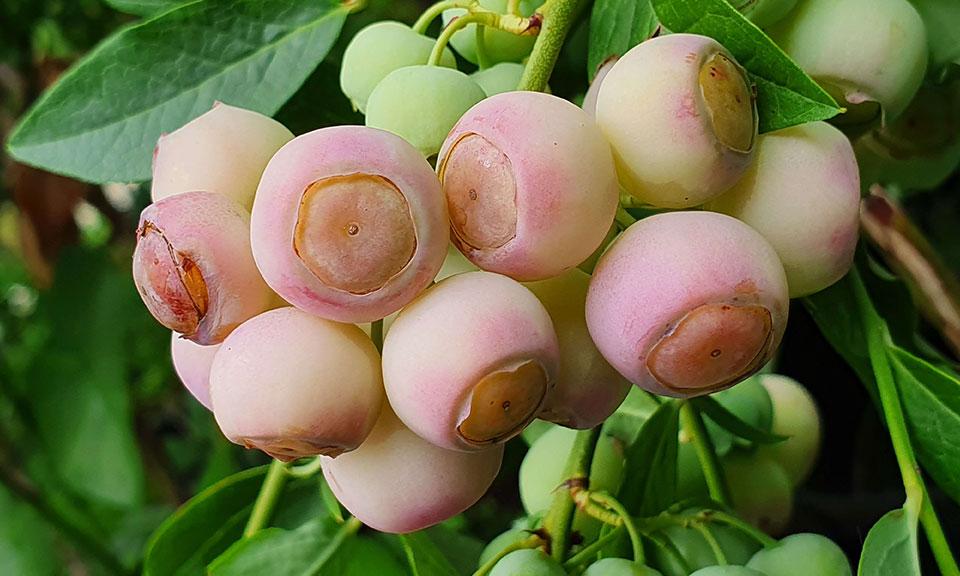 Ameriška borovnica sorta Pink Popcorn (posebnost in novost)