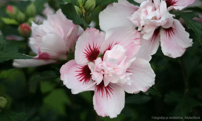 hibiskus sadika in cvet