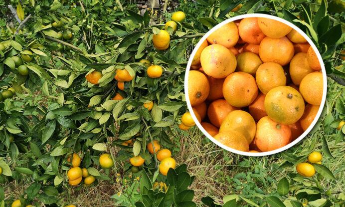 sadike mandarine