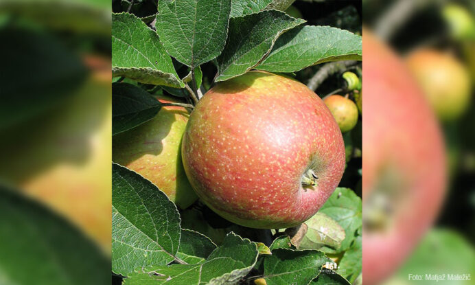 jablana bobovec