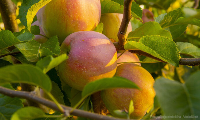 jablana florina
