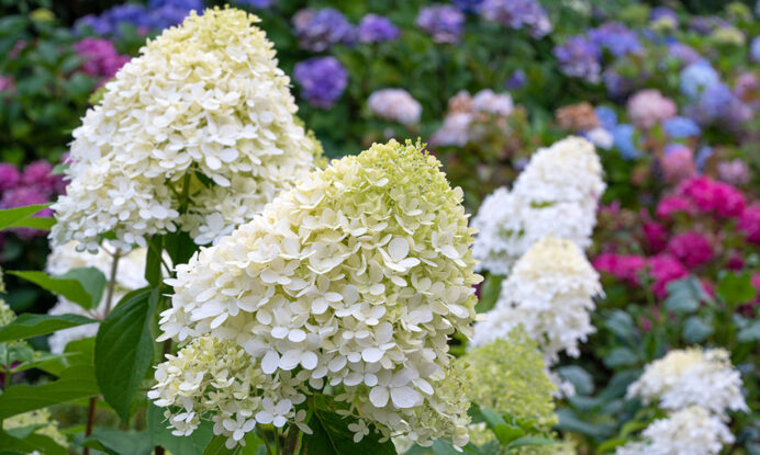 hortenzija bobo